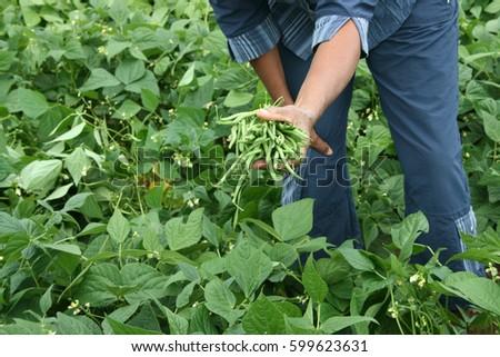 Harvest of green fresh beans in a garden