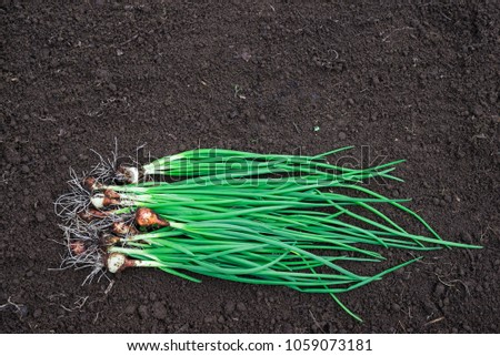 Harvest of Green Onions on the Ground. Raw Organic Green Onion. Copy Space