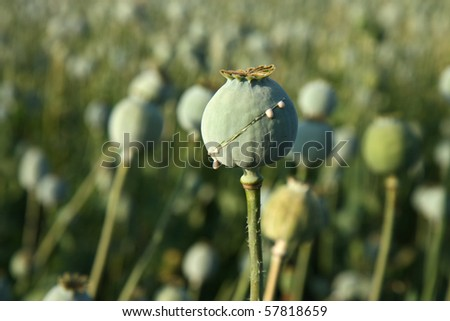 harvest of opium from green poppy on the agriculture field
