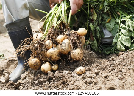 Harvest of potato
