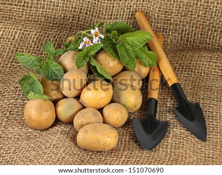 Harvest of potatoes with garden tools on sack background, close-up