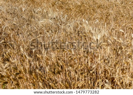 Harvest of wheat Texture of wheat