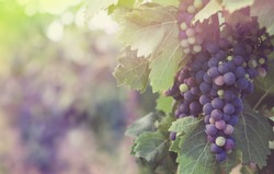 Harvest on a french vineyard - Merlot grape in sunlight and pastel colors. Multicolored grapevine for your poster about winemaking or red wine, blur background with soft light and bokeh.