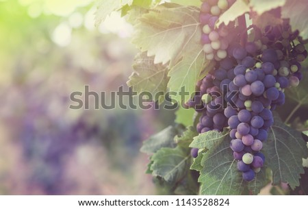 Harvest on a french vineyard - Merlot grape in sunlight and pastel colors. Multicolored grapevine for your poster about winemaking or red wine, blur background with soft light and bokeh. Foto d'archivio ©