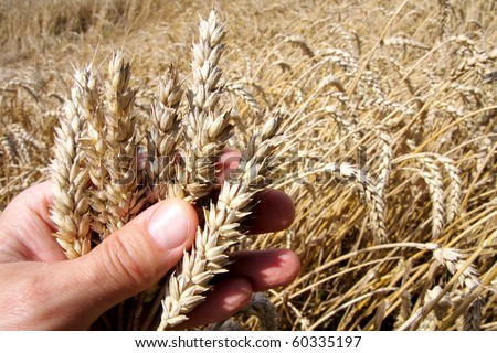 Harvest season and palm with rye