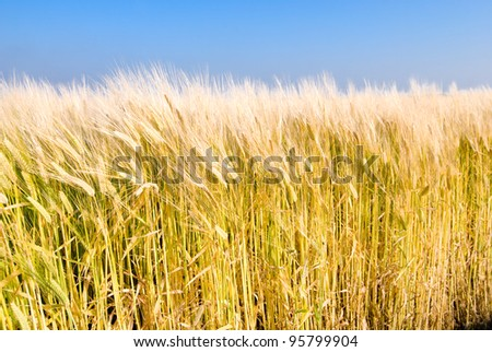 Harvest season of barley to turning yellow under blue sky