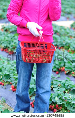 harvest strawberry in garden