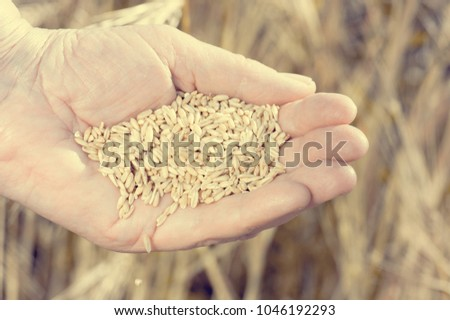 Harvest time and golden hour. Wheat grains falling from old woman hand in the wheat field, blur focus #1046192293