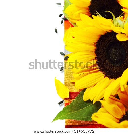 harvest time - beautiful sunflowers over white
