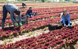 Harvest time. Group of farm workers cutting fresh young leaves of red lettuce on farm field..