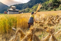 Harvest work on the millet field in the small tibetan village on Tibet