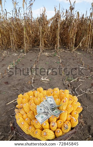 Harvested corn in a basket with dollar banknotes and field in background