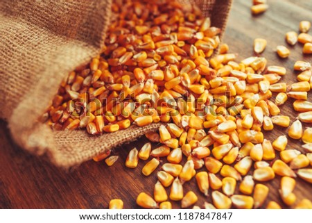 Harvested corn kernels spilling out of burlap sack, concept of abundance and great yield after successful harvest