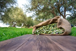 Harvested fresh olives in sacks for olive oil production, on a wooden table, Crete, Greece