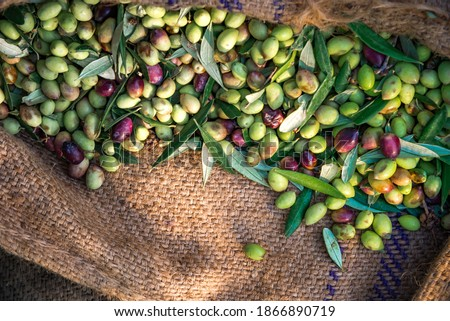 Harvested fresh olives in sacks in a field in Crete, Greece for olive oil production.