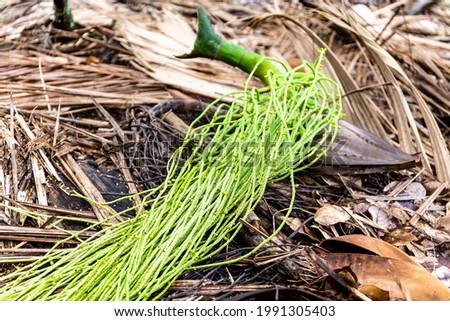 Harvested fruit of Palmiste palm (Deckenia nobilis), known as millionaire's salad palm or fresh palm heart, spaghetti-like flowers, in Vallee de Mai Nature Reserve on Praslin Island, Seychelles. Stock fotó ©
