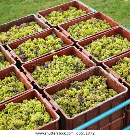harvested grapevines, Livi Dubnany, Czech Republic