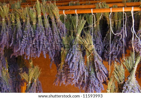 harvested lavender flowers hung for drying in a perfumery