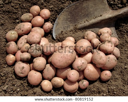 harvested pink potato tubers and spade on the ground