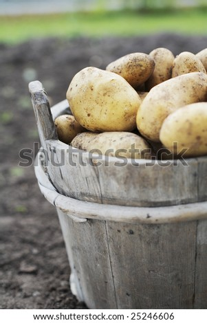 Harvested potatoes in an old wooden bucket