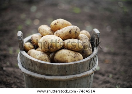 Harvested potatoes in an old wooden bucket. Short depth-of-field