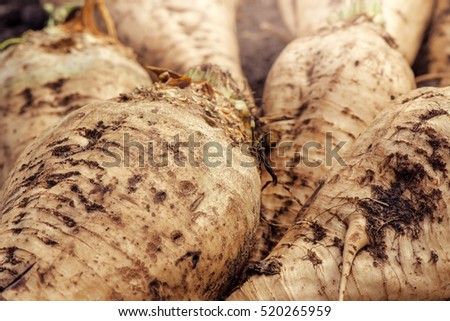 Harvested sugar beet crop root pile on the ground, selective focus.