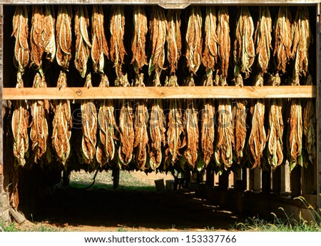 Harvested tobacco leaves hanging on racks for drying in sunlight in a rural farm barn