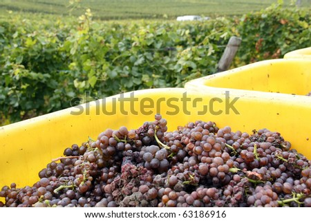 Harvested wine grapes in the vineyard in Alsace regions, France
