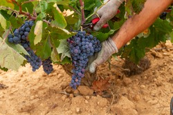 Harvester cuts the grape bunches of the Bobal variety of the strain in the Utiel-Requena (Spain) wine region