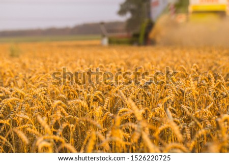 Harvester in wheat field. Sunset