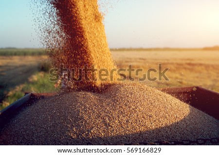Harvester unloading wheat.