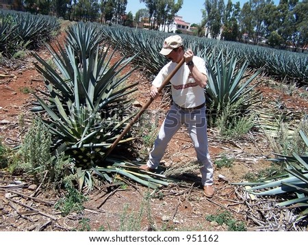 Harvesting agave for making tequila. Guadalajara, Mexico