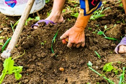 Harvesting and digging potatoes with hoe and hand in garden. Digging organic potatoes by dirty hard worked and wrinkled hand .
