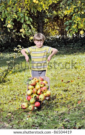 harvesting apples - boy helping in the garden with a wheelbarrow full with apples.