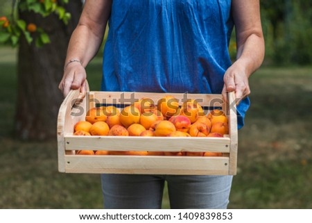 Harvesting apricot fruit in garden at summer. Woman holding wooden crate full of fresh harvested apricots. Organic homegrown produce