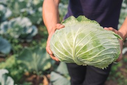 harvesting cabbage. in the hands of green cabbage. Fresh cabbage from farm field. View of green cabbages plants. Vegetarian food concept.Fresh green cabbage maturing heads growing in vegetable farm.