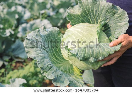 harvesting cabbage. in the hands of green cabbage. Fresh cabbage from farm field. View of green cabbages plants. Vegetarian food concept.Fresh green cabbage maturing heads growing in vegetable farm. Сток-фото ©