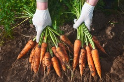 Harvesting carrots. Female hand with bunches of carrots with tops.