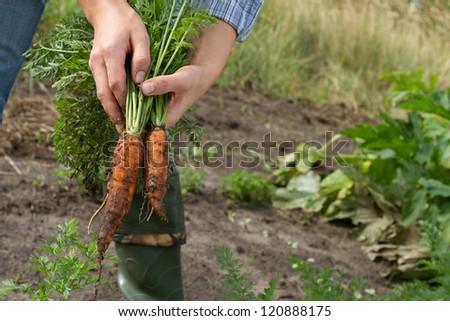 harvesting carrots in kitchen garden - stock photo