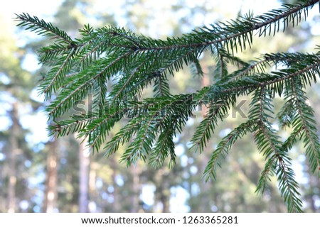 Harvesting coniferous branches. Spruce branches #1263365281