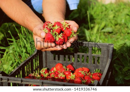 Harvesting fresh strawberries in June. Sweet red strawberry. Strawberry Farm Box with ripe berry. Manual labor in the garden. A bunch of strawberries in hand.