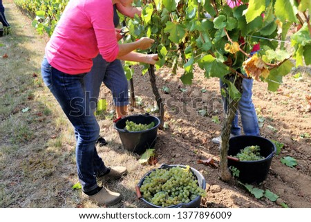Harvesting grapes in grape yard #1377896009