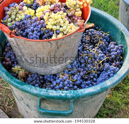 Harvesting grapes: Ripe multi colored grapes inside a pail