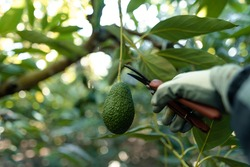 Harvesting hass avocados. Hands cutting the avocado stick from the tree with pruning shears. Horizontal