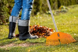 harvesting leaves in the garden. A gardener in rubber boots, blue jeans and a blue T-shirt, in red work gloves, removes yellow autumn leaves with a yellow rake. October is a sunny day.