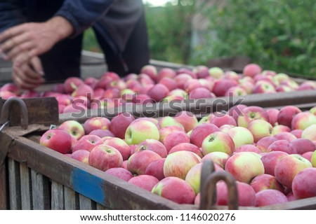 Harvesting of apples in the orchard. Containers with apples. Rustic style. #1146020276