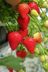 Harvesting of fresh ripe big red strawberry fruit in Dutch greenhouse
