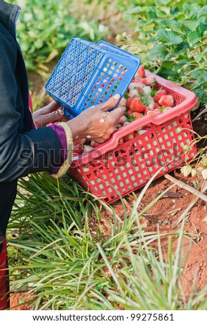 harvesting of strawberry fruit from the field