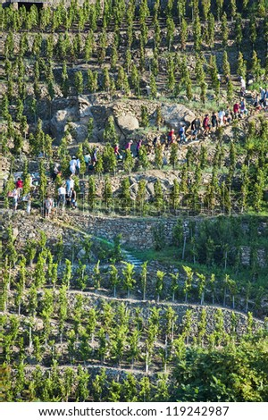 Harvesting on the Terraces in a Vineyard at Ampuis France