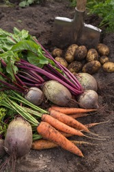 Harvesting organic vegetables. Autumn harvest of fresh raw carrot, beetroot and potatoes on soil in garden